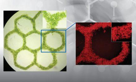 3D bioprinted algen voor gemanipuleerde weefsels