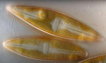 How do Diatoms Reproduce?