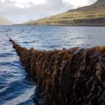 Cultivated Seaweed Can Reduce Excess Nutrients