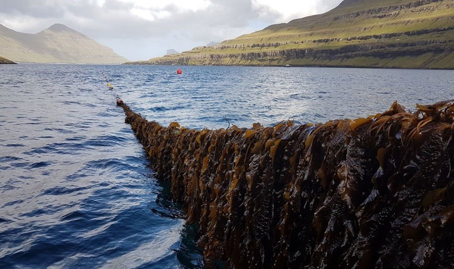 Cultivated Seaweed