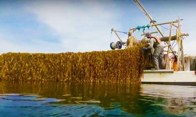 U.S. Kelp Farming Industry Gets $100 Million Boost
