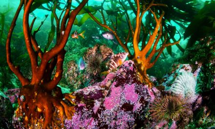 Scientists Research Kelp Forests as Harvesting Increases