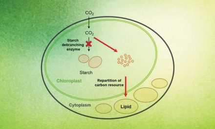 Turning Algal Carbohydrates into Lipids for Biofuels