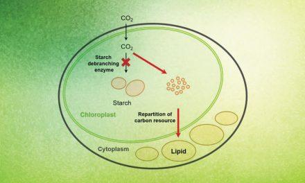 Trasformare i carboidrati algali in lipidi per i biocarburanti