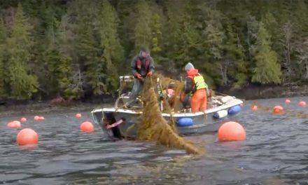 Cultivating Kelp in Alaska