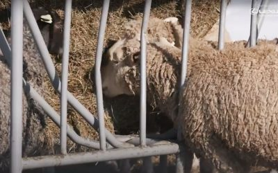 Mitigating Methane from Sheep with Red Seaweed
