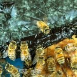 Mit Mikroalgen die Honigbienen retten
