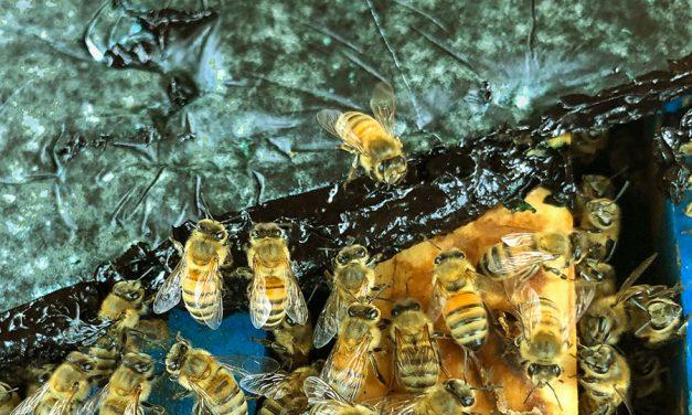Saving the Honeybees with Microalgae