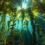 Kelp is Key to California's Coastal Ecosystems