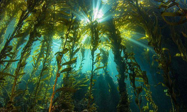 海带是加州沿海生态系统的关键
