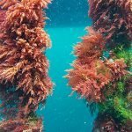 Australisches Unternehmen, das Asparagopsis-Algen vermarktet