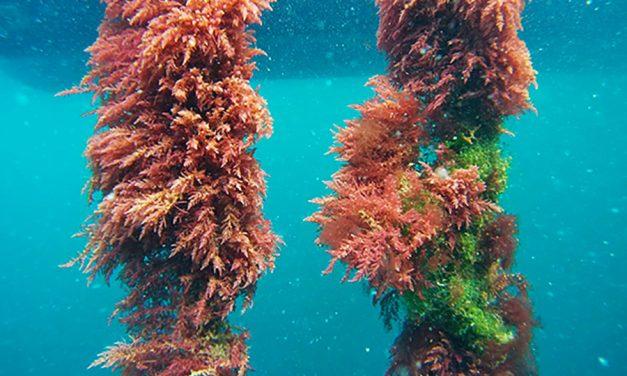 Azienda australiana che commercializza alghe Asparagopsis