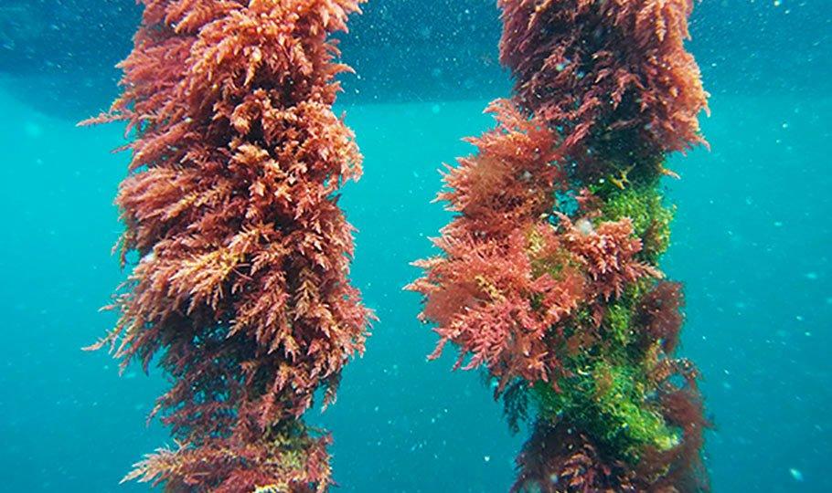 Algas Asparagopsis